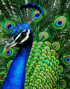 Hue-ology} - Your Weekly Color Inspiration - Peacock Blue Peacock And Peahen, Indian Peacock, Pretty Birds, Beautiful Birds, Animals Beautiful, Peacock Colors, Peacock Art, Peacock Feathers, Peacock Images