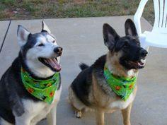 Montana and Bailey the Siberian Husky and German Shepherd.