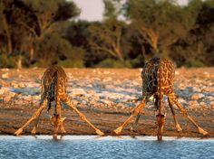 animals drinking giraffe dangerous african safari animals africa safari destination wildlife animal travel endangered species safari routs big five big cats big crocs animal pictures Giraffe Pictures, Animal Pictures, Funny Pictures, Daily Pictures, Baby Animals, Funny Animals, Cute Animals, Wild Animals, Large Animals