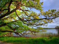 Oak tree,Killarney National Park