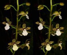 https://flic.kr/p/qH5VYc | Warreopsis pardina | Cross-eye stereogram   from Reserva Rio Bravo in Mindo