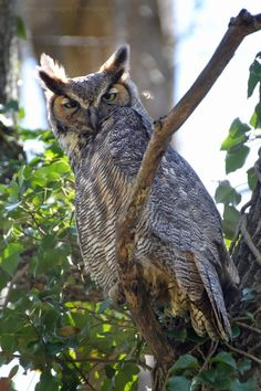 Posting my original bird photography, occasionally Owl Pictures, Great Horned Owl, Birds Of Prey, My Animal, Drawings, Photography, Hummingbirds, Drawing Reference, Barn