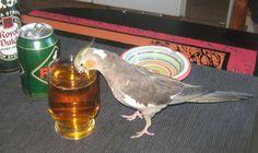 Beer Drinkin Cockatiel by hellion-666.deviantart.com on @DeviantArt