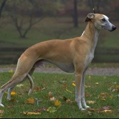 Whippet::  Calm, affectionate, and playful. #dogs #pets #ShermanFinancialGroup
