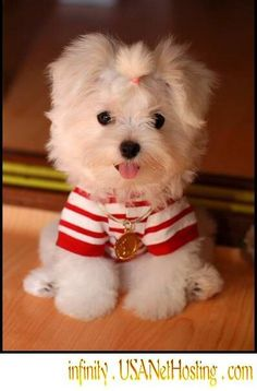 OMG, look at this adorable maltese puppy