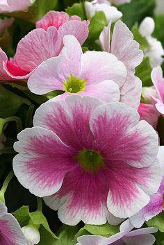 pink primula