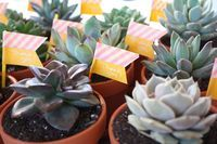 enJOY it by Elise Blaha Cripe: potted succulent thank you favors.