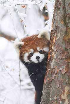 25 Things You Didn't Know About Red Pandas - meowlogy Nature Animals, Animals And Pets, Baby Animals, Funny Animals, Cute Animals, Animals In Snow, Cute Creatures, Beautiful Creatures, Animals Beautiful