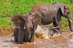 Elephants in Rwanda