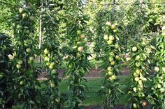 Minitree Goldlane, handappel, lekker zoet van smaak. http://www.minitree.nl/info/15-minitree-fruithaag