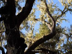 Old Oak on York Mountain Road, © B. Radisavljevic