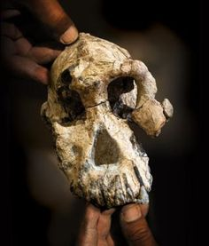 Paleontologists have discovered a million-year-old skull in Woranso-Mille, Ethiopia that reveals the face of a male Australopithecus anamensis. The newfound hominin cranium provides new informa… Evolution Science, Human Evolution, Haile Selassie, Early Humans, First Humans, Crane, Human Family Tree, Case Western Reserve University, Art Disney