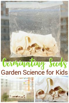 Kids will love sprouting their own seeds in a plastic baggie! With just a few materials, kids can watch seeds sprout by germinating seeds in a bag. Kids can learn a lot with this experiment and it is SO easy to do! Find out just how we did this simple experiment so you can do it with your kids! #science #seeds #easyscience #gardenscience #scienceexperiments #kidsactivities