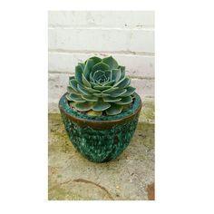 #cactuscollection #stenocactus #succulent #succulentcollection #cacticollection #cactiflowers #cactusflowers #cactus #cacti #mammillaria #astrophytum #copiapoa #sulcorebutia #haworthia #ferocactus #ariocarpus #lophophora #cactuslove #cactuslover #succulove #instacactus #succulent #succulents #echiveria #lithops #ukcactiandsucculents #cactusmagazine #mycollection #leafandclay by ukcactiandsucculents_