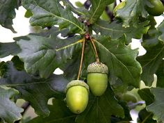 acorn tree - Google Search
