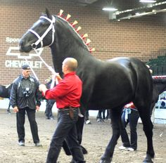PERCHERON - this should give you an idea of how huge these beautiful horses are Big Horses, Black Horses, Horses And Dogs, Horse Love, Percheron Horses, Clydesdale, Most Beautiful Animals, Beautiful Horses, All The Pretty Horses