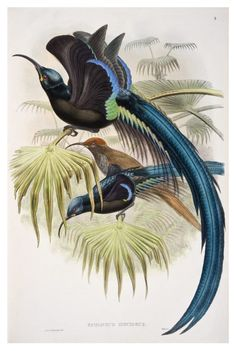 "John Gould | Great Promerops, a bird of paradise, vol. 1, pl. 9 from John Gould (1875 - 1888), ""Birds of New Guinea and the adjacent Papuan islands, including many new species recently discovered in Australia"", completed after the author's death by R. Bowdler Sharpe."