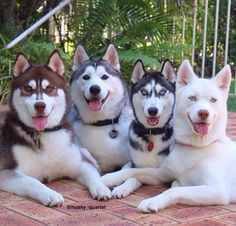 """There so cute! I want a husky!"" says this Pinner..... BUT, please read about this breed before you dive in - this is a pic of 4 bundles of great love but, you need to be prepared to meet their needs (which are many and very necessary)!"