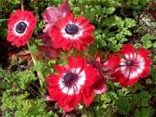Anemone coronaria 'The Governor' 1 flower, form Plants, Types Of Flowers, Little Plants, Bulb Flowers, Flower Meanings, Anemone, Anemone Flower Pictures, Red Anemone, Fall Plants