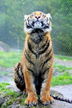 """Rainy Day Tiger   <span class=""""EmojiInput mj40"""" title=""""Heavy Black Heart""""></span> Crazy Cats, Big Cats, Cats And Kittens, Siamese Cats, Animals And Pets, Funny Animals, Cute Animals, Wild Animals, Baby Animals"""