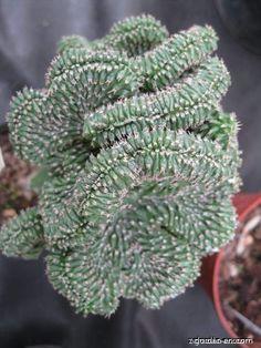 Euphorbia phillipsioides convar cristata