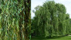 Salix spp., Pil, Salicaceae Pilfamilien, LIGNOSE