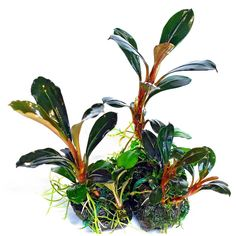 Based on their appearance, Bucephalandras are similar to Anubias and Cryptocoryne. Because of their very close appearance to the Cryptocoryne species, they were introduced as their alternative when… Planted Aquarium, Live Aquarium Plants, Aquarium Fish, Aquatic Ecosystem, Aquatic Plants, Aquascaping, Corals For Sale, Freshwater Aquarium Plants, Epiphyte
