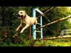 """Преход на боеца – Трет – американски стафордширски териер - Кучето е порода """"американски стафордширски териер"""" и е от гр. Черновци, Украйна.Нещата които това, куче прави в своя стил, може би все още не са документирани в Световната История на видео."""