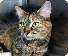 Westampton, NJ - Domestic Mediumhair. Meet C-57636 Robin a Cat for Adoption.