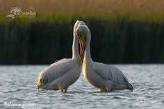 Imagini pentru delta dunarii imagini Danube Delta, Romania, Bird, Animals, Country, Littoral Zone, Animales, Animaux, Rural Area
