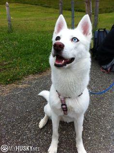 White Siberian Husky #FindingRocket