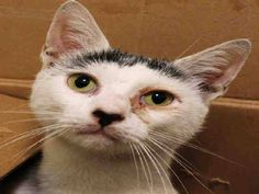 To be KILLED 10/6 @ NYC ACC: My name is JINGLES ID # A1015955. I am a male white/black cat, 4 YRS old. JOLLY JINGLES IS A 4 YEAR OLD SWEETIE WHO ALLOWS ALL HANDLING....Right now, JINGLES has a cold and conjunctivitis but that hasn't dampened his purrsonality..DO YOU HAVE THE LOVE AND THE ROOM FOR JINGLES? DON'T WAIT! JINGLES HAS LITTLE TIME YET...OFFER TO FOSTER OR ADOPT NOW!!
