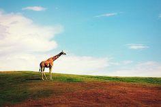 Giraffe wandering acres of free space at the Safari Park.