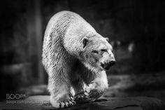 by jabodk Polar Bear Illustration, Brown Bear, Natural World, Animal Drawings, Amazing Photography, Black And White, Gallery, Polar Bears, Wild Things