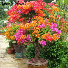 Bougainvillea is a plant that can, even if planted as the sole tropical, turn your backyard into a tropical paradise. Bougainvillea also enjoys high humidity prior to blooming. The bougainvillea plant is hardy to USDA Zones to Bougainvillea Colors, Bougainvillea Bonsai, Bonsai Plants, Plantas Bonsai, Garden Bulbs, Home Garden Plants, Patio Plants, Indoor Plants, Perennials