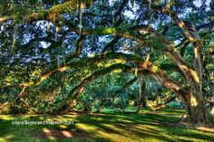 Oak Tree in New Orleans City Park - photo by Alex Demyan