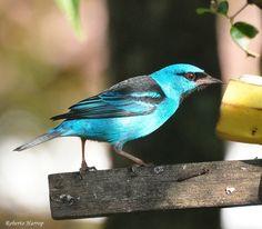 Saíra-azul-turquesa