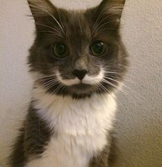 Just love this cat with a mustache. Look at the other pics as well <3  <3