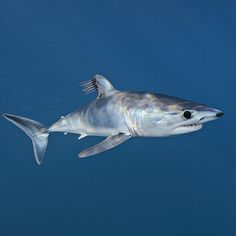Photo by @BrianSkerry A young shortfin mako shark cruises just below the surface in the offshore waters of southern California parasitic copepods trailing off its dorsal fin. Makos are one of the fastest fish in the sea capable of bursts up to 60mph and of all shark species they have one of the largest brains relative to body size. The numbers of makos have declined worldwide due to over fishing and the demand for shark fins. They are currently listed as vulnerable.  Coverage from an…