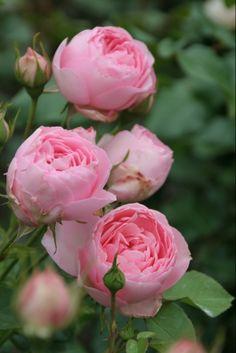 ~Floribunda Rose: Rosa 'Guy de Maupassant' (France, 1995)