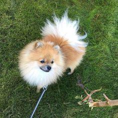 Jaimy som Murphy @murphy_the_pom from @bellakleinspomeranian   #murphy #sundayfunday #happyday #happydog #fluffy #cutie #instadog #instapet #instapom #pomeranian #pom #pomstagram #dogstagram #petstagram #pomlife #pomlove #pomlovers #lovemypom #ilovemypom #poms #spitzlovers #poms #pomeranianworld #pomeranianpage #justpomeranians #spitz #dogsofnorway