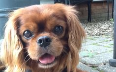 Molly is an adoptable Cavalier King Charles Spaniel in Monticello, IL. She is beautiful, sweet, loving girl and would make someone a terrific friend. Read more about her and submit an application at cavalierrescueusa.org