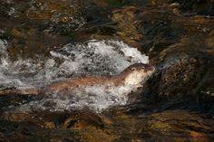European otter.  El Río Sella, Asturias, Spain - from John Shackleton at www.wildasturias.com