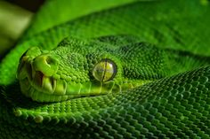 """""""Green Morelia viridis""""  by Johnny Brambach, via 500px"""