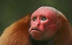 Monos rojos huapo
