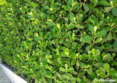 Clusia - Clusia fluminensis - Arbusto, pertence à família Clusiaceae, nativa do litoral do Rio de janeiro e São Paulo, perene