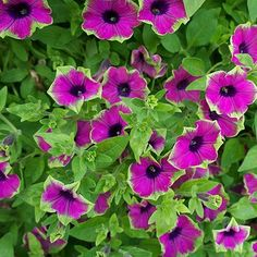 Petunia 'Pretty Much Picasso'  Petunia hyb.    It seems as if plants are now being named by the same convention that names racehorses! Notwithstanding this somewhat silly name, it is a remarkable combination of vivid, but not garish pink, with lime green edges. Combines well with sweet potato 'Tricolor' and other foliage colors besides grassy green.    Annual;      2-3 ft trailing tall  Bloom Time: Summer to fall  Color: Pink with lime green edges  Full sun  Soil: Rich, moist, well-drained…