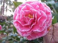 Carter's Sunburst Special (Camellia Japonica) Recommended for US Gulf Coast by Camelia Garden Field Guide.