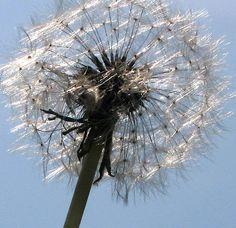 iridescent dandelion puff