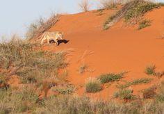 Lioness on sand dune